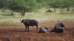 buffaloes-in-serengeti