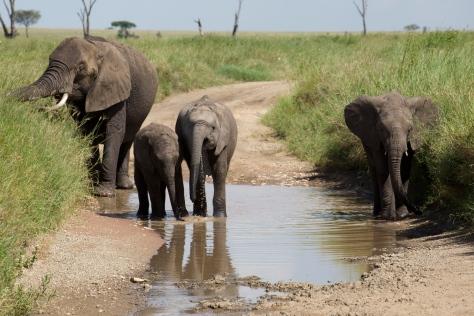 elephants-in-serengeti