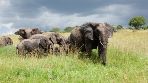 elephants-in-tanzania-1