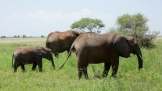 elephants-in-tarangire-national-park