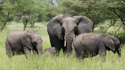 elephants-in-tarangire