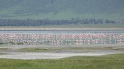 flamingoes-in-ngorongoro
