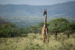 giraffe-in-serengeti-2
