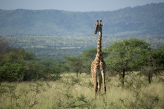 giraffe-in-serengeti-2
