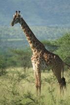giraffe-in-serengeti-3