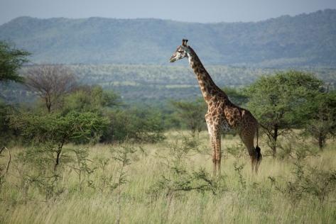 giraffe-in-tanzania-1