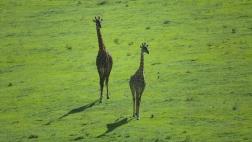 giraffes-in-north-tanzania-1