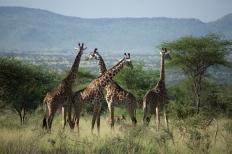 giraffes-in-serengeti
