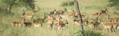 impalas-in-serengeti-2
