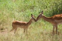 impalas-in-serengeti-3