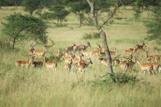 impalas-in-serengeti