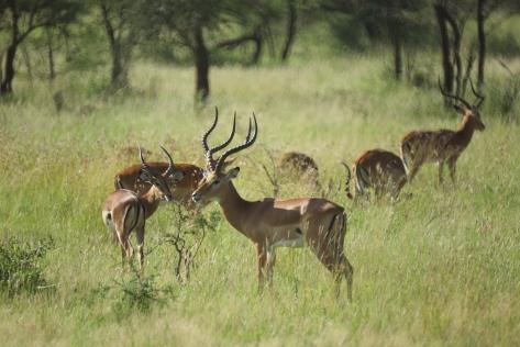 impalas-in-tanzania-1