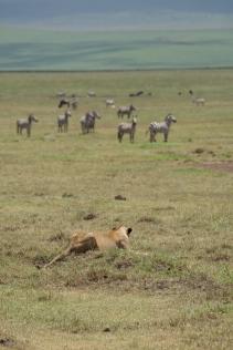 lions-hunting-in-ngorongoro