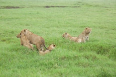 lions-in-serengeti-national-park-1