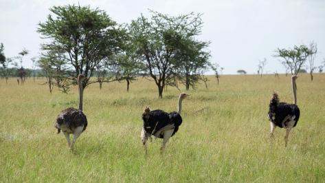 ostrich-in-tanzania
