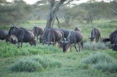 wildbeeste-near-serengeti