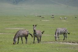zebras-in-ngorongoro