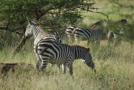 zebras-in-tanzania-1